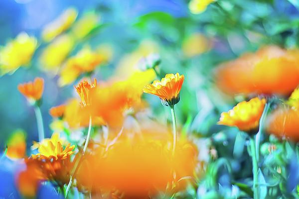 Oksana Ariskina - Orange Marigold flowers