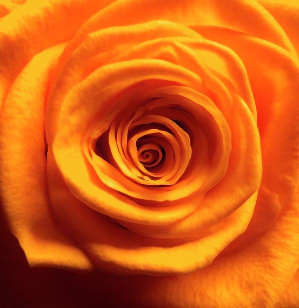 Johanna Hurmerinta - Orange Rose Macro