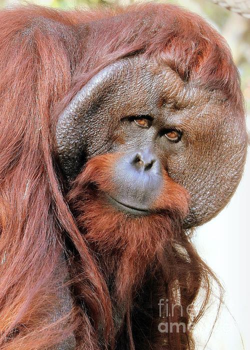 Diann Fisher - Orangutan Male Closeup