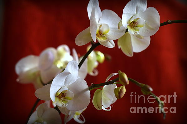 Camelia C - White Orchid