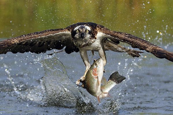 Scott  Linstead - Osprey Catching Trout
