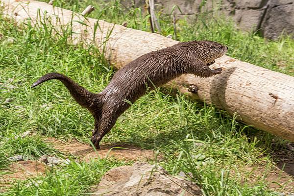 Marv Vandehey - Otter Jumping onto a Log