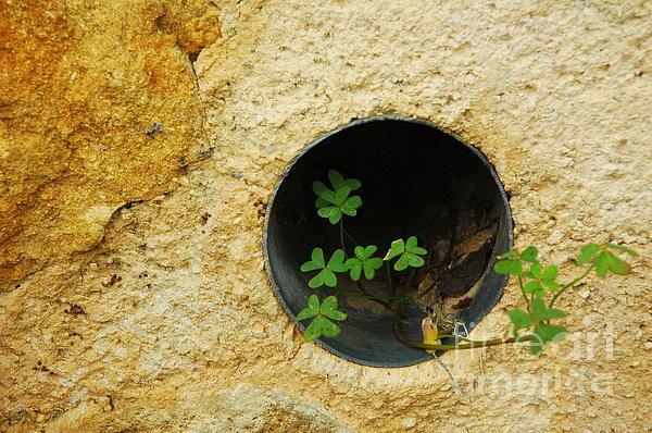 Jane Gatward - Oxalis In The Wall Drain
