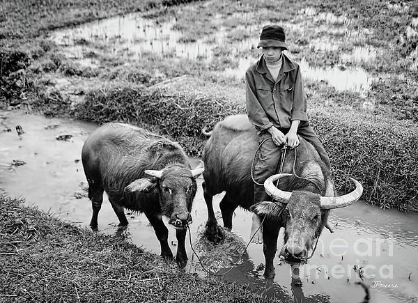 Jennie Breeze - Oxen Day Off.Cambodia BW