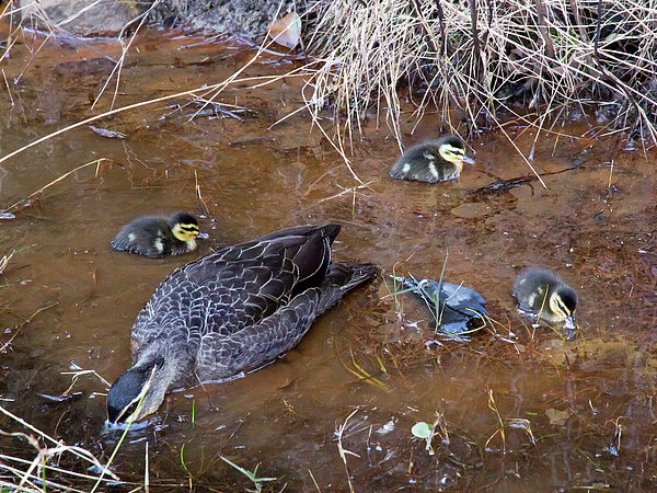 Miroslava Jurcik - Pacific Black Duck Family