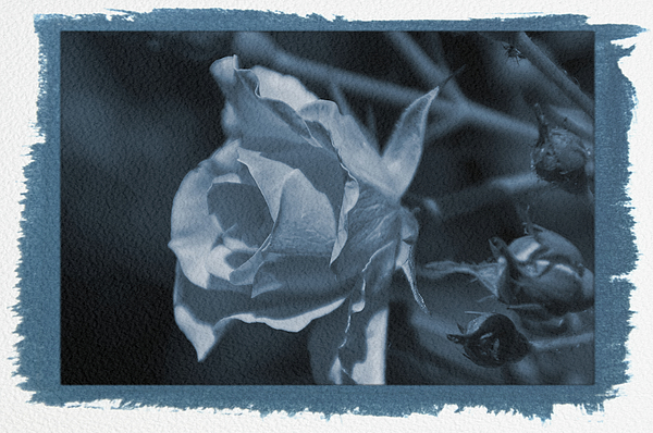 Aimee L Maher Photography and Art Visit ALMGallerydotcom - Painted Cyanotype Rose Close Up