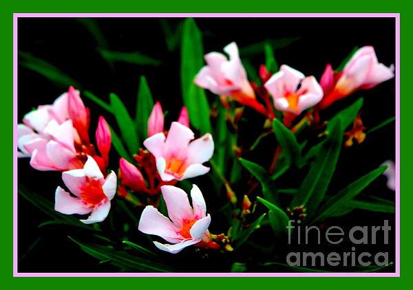 Jane Gatward - Pale Pink Oleander Blossom