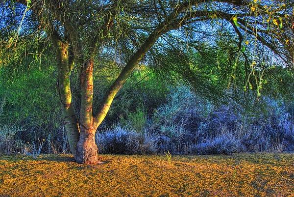 Tam Ryan - 6.  Palo Verde Tree