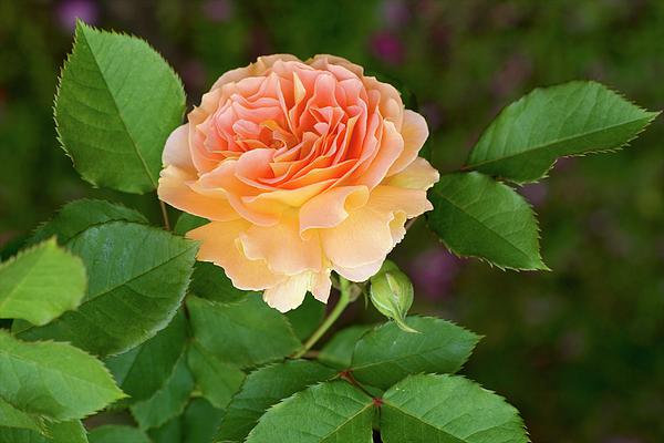 Jane Eleanor Nicholas - Peace in the Garden - Peace Rose