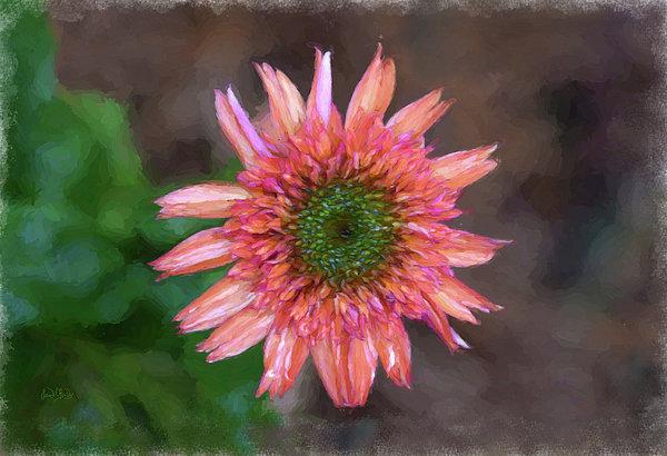 Sandi OReilly - Peachy Wet Gerbera Daisy From Above