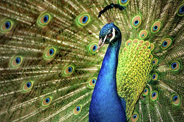 Don Johnson - Peacock Display