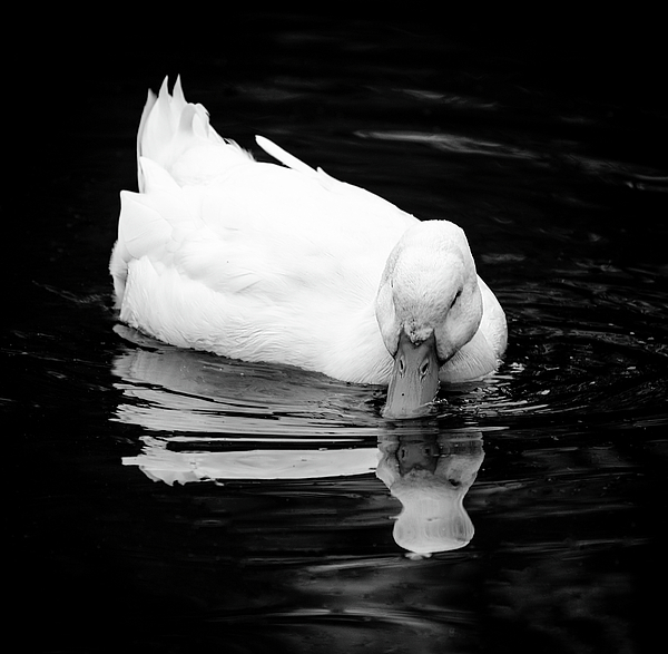 Keith Smith - Peek-ing Duck