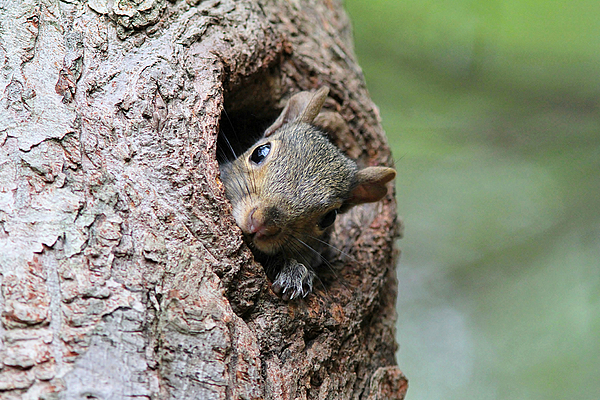Linda Crockett - Peekaboo Squirrel