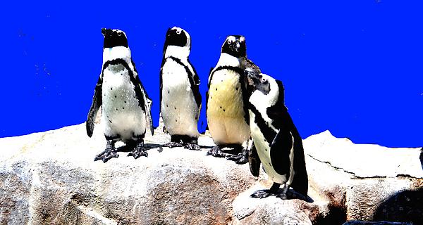 Anand Swaroop Manchiraju - Penguin  Family