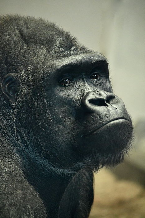 Richard Bryce and Family - Pensive Gorilla