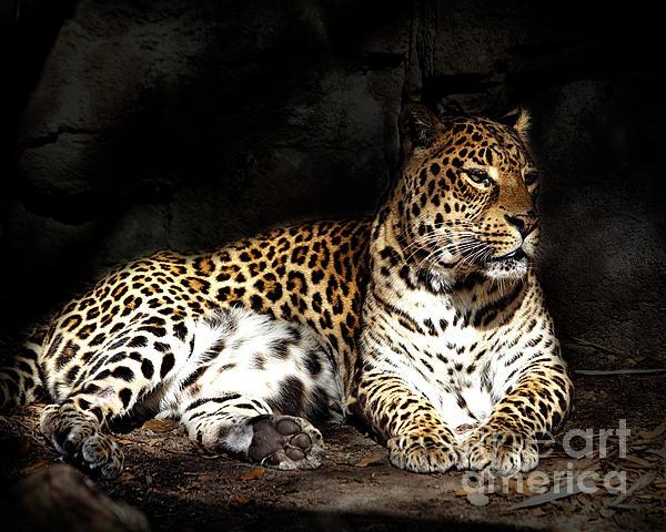 TN Fairey - Pensive Leopard