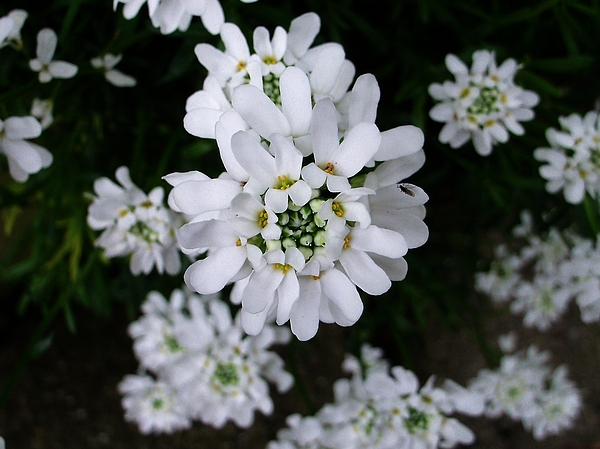 Nancy Pauling - Perennial Candytuft
