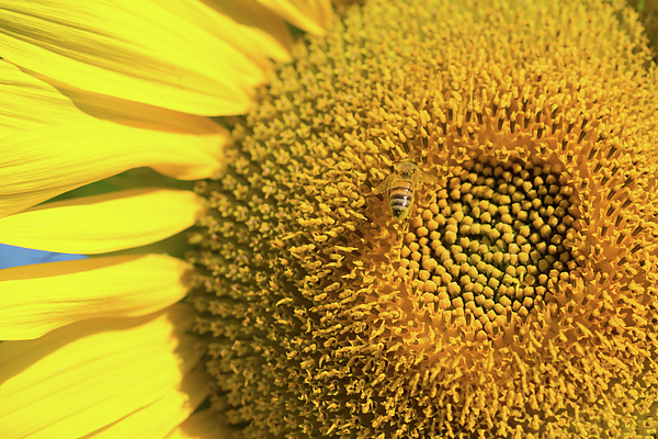 Nicola Simeoni - Petals of sunflower and bee...