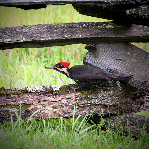 Phyllis Taylor - Pileated Woodpecker