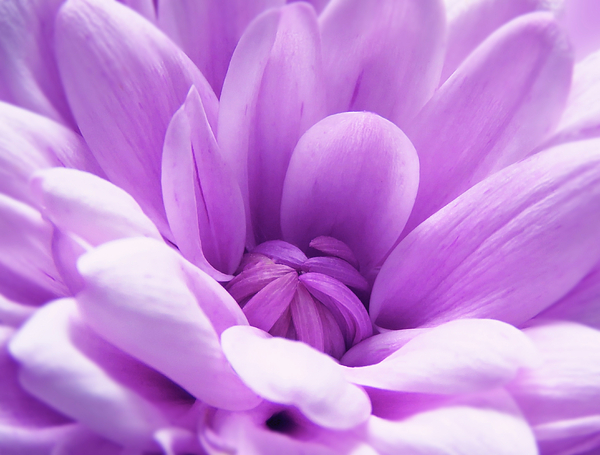 Johanna Hurmerinta - Pink Chrysanthemum