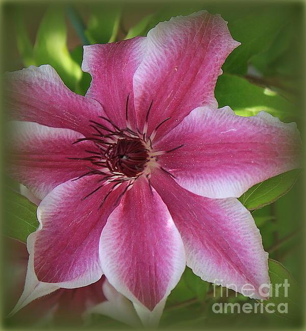 Dora Sofia Caputo Photographic Art and Design - Pink Clematis in Full Bloom