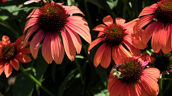 Denise Harty - Pink Coneflowers with Bee