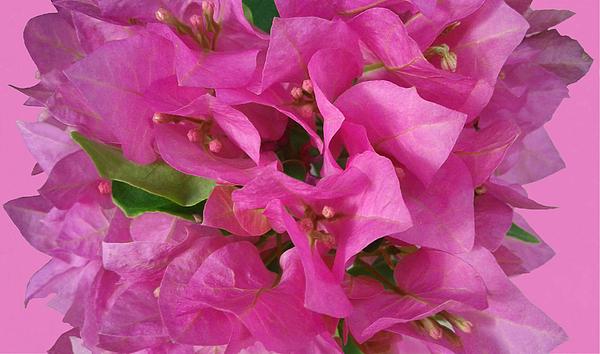 Olga Zavgorodnya - Pink Flower Composition