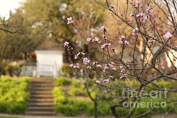 Rachel Morrison - Pink Garden in March