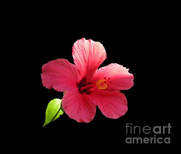 Marlin and Laura Hum - Pink Hibiscus