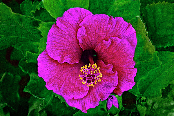 Pink Hibiscus Op51 Photograph