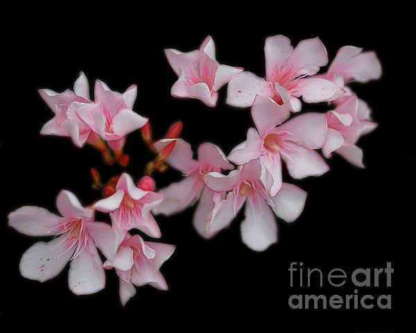 TN Fairey - Pink on black