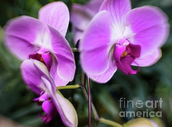 Jill Greenaway - Pink Orchid 2