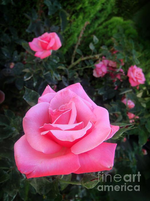 Sofia Metal Queen - Pink rose. Beauty 017