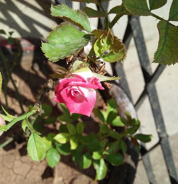 Nishigandha G - Pink Rose