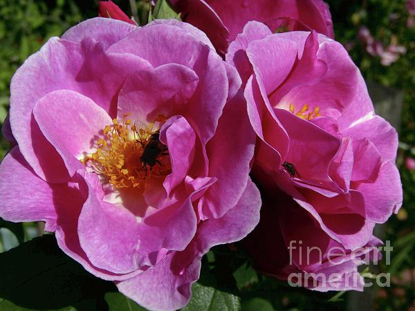 Kim Tran - Pink Roses