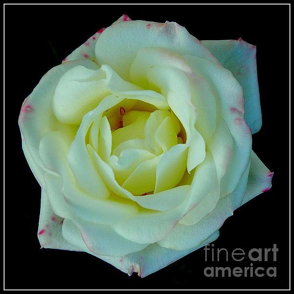 Jane Gatward - Pink-Tinged Miniature White Rose