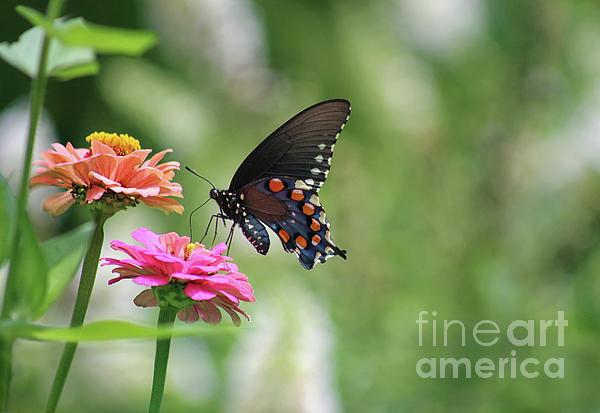 Karen Adams - Pipevine Swallowtail Butterfly on Pink Zinnia