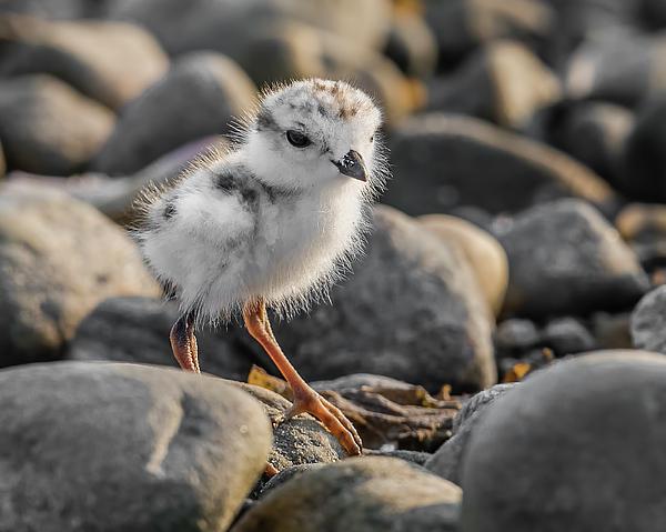 Morris Finkelstein - Piping Plover Chick