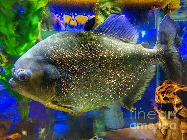 Anne Sands - Piranha Fish