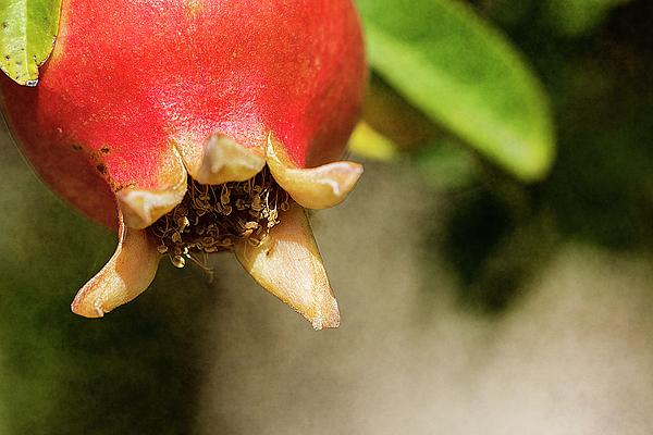 Ignacio Leal Orozco - Pomegranate #7
