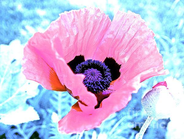Elisabeth Derichs -  Poppy in Pink