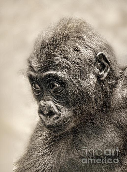 Jim Fitzpatrick - Portrait of a Baby Gorilla digitally altered