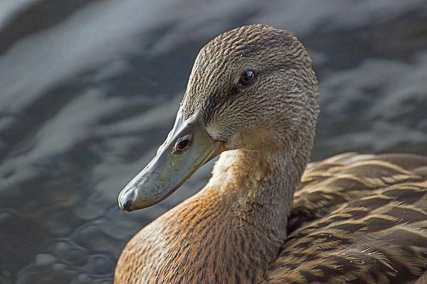 Spencer Bush - Portrait of a Quack - Mallard Duck - Anas platyrhynchos