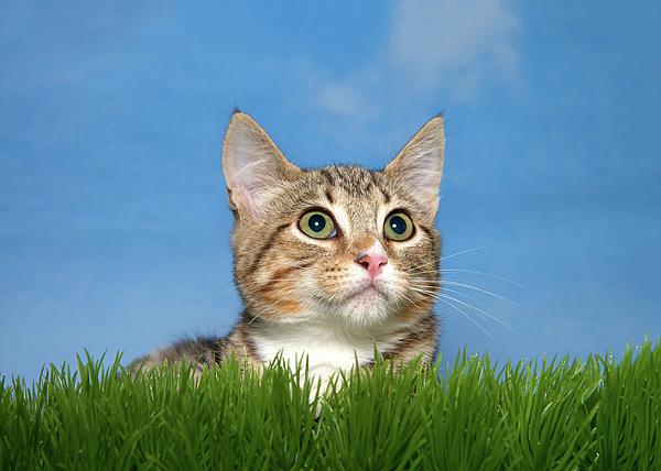 Sheila Fitzgerald - Portrait of a Surprised Tabby Kitten