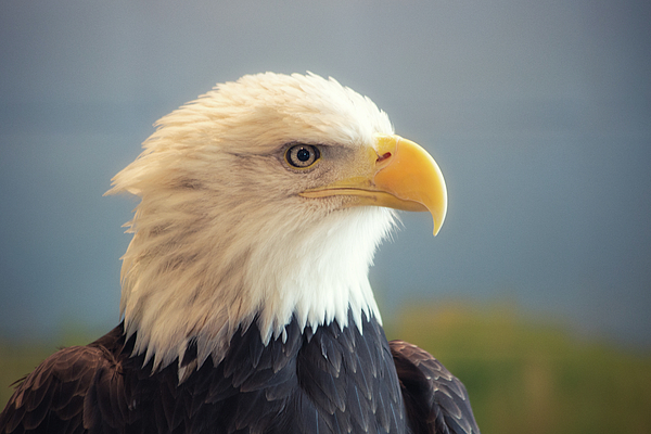 Lauri Novak - Portrait of an Eagle