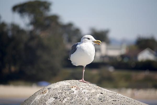 Chris Berry - pr 197 - One Legged Gull