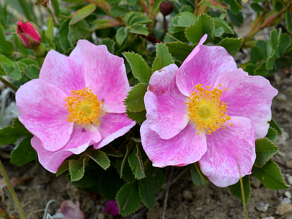 Ed Mosier - Prairie Rose
