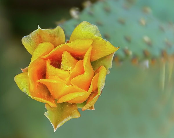 Prickly Pear Flower H11 Photograph