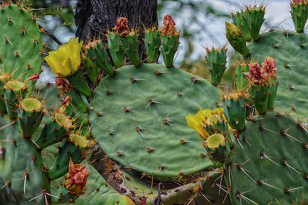 Prickly Pear Flowers H35 Photograph