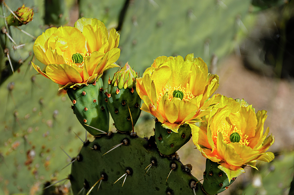 Prickly Pear Flowers H42 Photograph